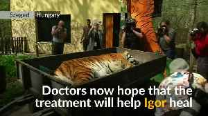 News video: Tiger in Hungarian zoo receives stem cell treatment for pain relief