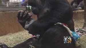 News video: Baby Gorilla Born At National Zoo In Washington