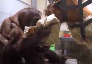 News video: Orangutan 'Boops' Broccoli Thief at Denver Zoo