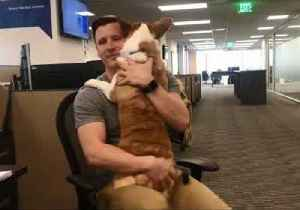 News video: Office Worker Gets Through His Day With Hugs From a Special Corgi