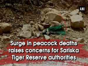 News video: Surge in peacock deaths raises concerns for Sariska Tiger Reserve authorities