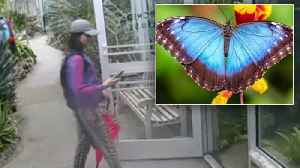 News video: Did This Woman Steal a Rare Blue Butterfly While Dressed Like One?
