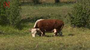 News video: Scientists Think Cows Will Be the Largest Animals on Land in the Future