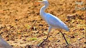 News video: Beautiful Activites of Egret/Crane/ in opeHeron in grounds and feilds