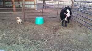 """News video: """"Puppy Plays Tug of War With Cow"""""""