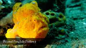 News video: Rare footage of Warty Frogfish brilliantly hunting prey
