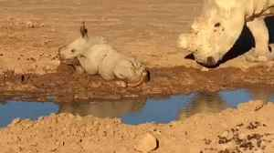 News video: Tiny Baby Rhino Enjoys While Taking Mud Baths Playing In The Dirt