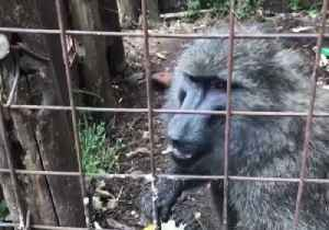 News video: Chimp and Baboon Saved From Captivity in Rural Congo Village