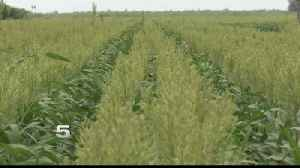 News video: Valley Grain Trader Concerned Over China's Sorghum Tariff