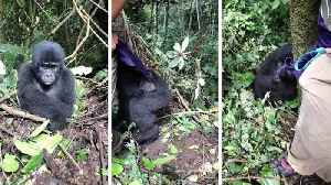 News video: Lively baby gorilla caught on camera trying to play hide and seek with tourist in Ugandan forest