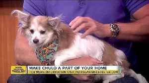 News video: Pet of the week: Chulo the Chihuahua loves cuddles and hanging out with dogs his own size