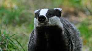 News video: Angry Badger Forces Scottish Castle to Shut Down