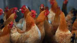 News video: China Using Army of Chickens to Battle Locust Swarms