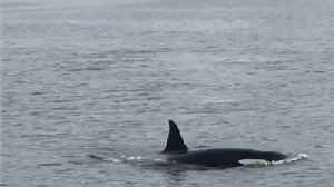 News video: Orcas Spotted in Scotland's River Clyde