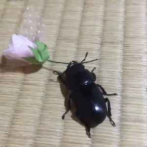 News video: Beetle carrying Rose