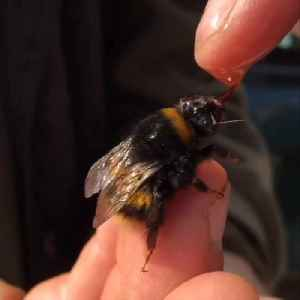 News video: Rescuing a Bumble Bee