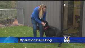 News video: WBZ-TV's Katie Brace Raises $5,000 For Operation Delta Dog With Boston Marathon Run