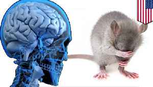 News video: Scientists put human brain in mouse, rodent still dumb AF