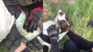 News video: Firefighters Rescue Dog With Sewer Pipe Stuck on Its Head