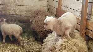 News video: Adorable Lambs Jump On and Off Sheep's Back