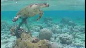 News video: Man rescues turtle trapped in fishing net off Maldives