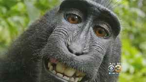 News video: Monkey Can't Sue For Selfie Copyright, Court Rules