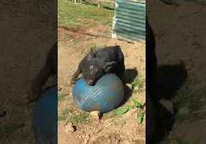 News video: Wild Boar Enjoys a Little Soccer in the Sun