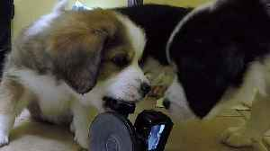 News video: Adorable puppies can't resist attacking the camera