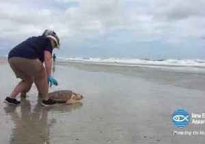 News video: New England Aquarium Releases 14 Sea Turtles After Rehabilitation