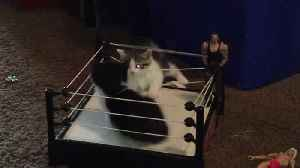 News video: 2 Kittens Wrestling WWE Style