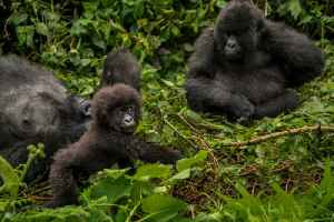 News video: New Study Reveals There Maybe Twice as Many Gorillas Than Previously Thought