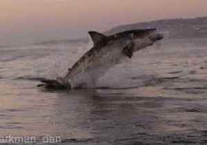 News video: Great White Shark Breaches the Water in Mossul Bay, South Africa