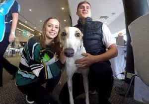 News video: Retired Greyhounds Find New Homes Across Australia
