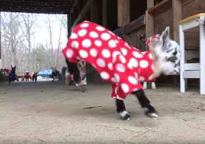 News video: Newborn Goats Have the Greatest Pajama Party Ever