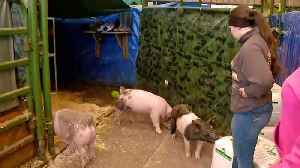 News video: Pigs Saved from School Barn Fire in Santa Rosa