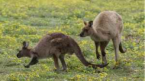 News video: Kangaroos Are Attacking Tourists Who Try To Take Selfies With Them