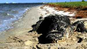 News video: Biologists: Expect To See More Alligators At Beaches