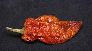 News video: What Happens When These Women Taste World's Hottest Chili Pepper