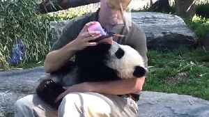 News video: Panda cub gets bottle fed at Toronto Zoo