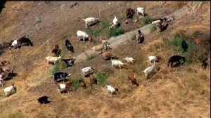 News video: Grazing Goats Used to Prevent Wildfires in San Diego