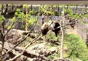 News video: National Zoo Panda Goes Out on a Limb, Falls and Climbs Up Again