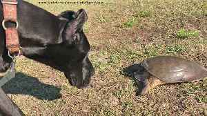 Curious Great Dane Is Completely Fascinated By First Turtle Encounter