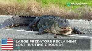 News video: Large predators showing up in odd places