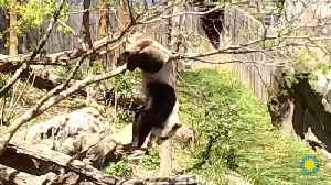 News video: Watch Klutzy Panda Fall Out of Tree After Branch Breaks