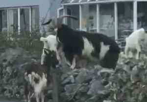 News video: Herd of Wild Goats Scampers Unchecked in Southwest Ireland