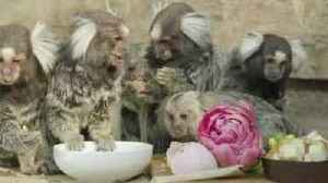 News video: Cute Symbio Zoo Animals Celebrate Mother's Day
