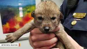 News video: Adorable 'Puppy' Found Roadside Turns Out To Be A Coyote