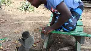 News video: Annoyed Monkey Hits Boy For Daring To Pet Him