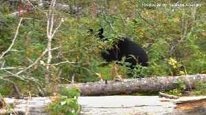 News video: Black Bear Attacks 5-Year-Old Colorado Girl in Her Backyard, Mother's Screams Helped Save Her