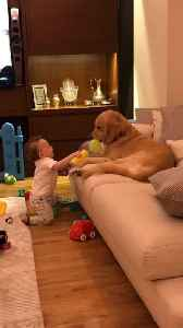 News video: Patient Dog Lets Baby Hit Him With A Soft Hammer Toy